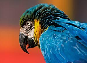 Bilder Vögel Papagei Großansicht Eigentliche Aras Schnabel Tiere