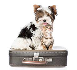 Image Dog Cat Suitcase 2 Yorkshire terrier Kittens White background Animals