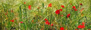Fotos Mohn Ähre Gras Blumen