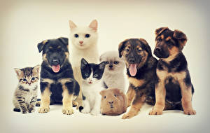 Pictures Dogs Cats Guinea pigs Colored background Beagle Kitty cat animal