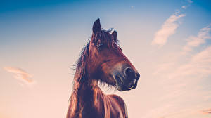 Pictures Horses Sky Head Animals