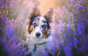 Fotos Hunde Lavendel Blick Tiere