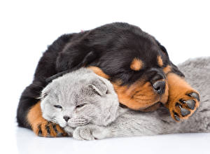 Wallpaper Dog Cats Two White background Rottweiler Sleeping Puppy Animals