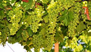 Bilder Weintraube Großansicht Ast Blatt Lebensmittel