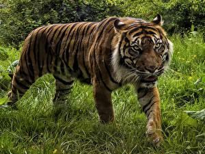 Desktop Hintergrundbilder Tiger Große Katze Gras Tiere