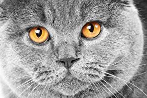 Hintergrundbilder Katze Augen Blick Grau Schnauze Schnurrhaare Vibrisse Nase Tiere