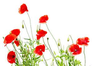 Fotos Mohn Großansicht Rot Blütenknospe Weißer hintergrund Blumen