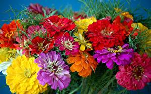 Hintergrundbilder Zinnien Nahaufnahme Viel Blumen
