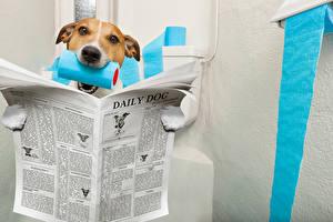 Bilder Hunde Jack Russell Terrier Zeitungen Toilette Tiere Humor