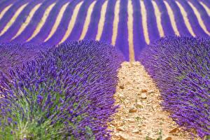Hintergrundbilder Frankreich Felder Lavendel Provence Natur