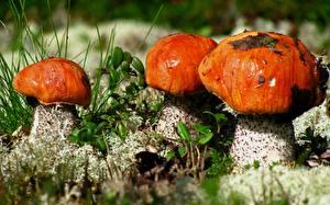 Bilder Hautnah Pilze Natur Leccinum aurantiacum