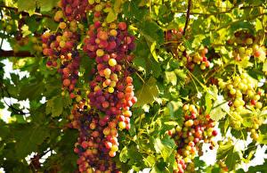 Hintergrundbilder Weintraube Ast Lebensmittel