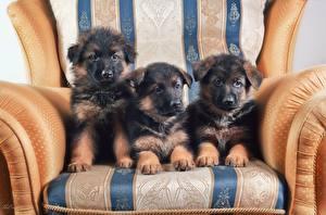 Fotos Hunde Deutscher Schäferhund Drei 3 Sessel Shepherd