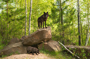 Images Forest Stones Wolves Two Animals