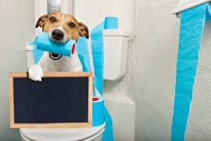 Hintergrundbilder Hunde Jack Russell Terrier Starren Vorlage Grußkarte Toilette Lustige Tiere