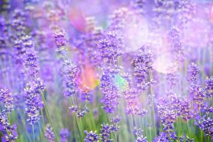 Hintergrundbilder Lavendel Blumen