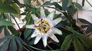 Fotos Großansicht Blatt Tropfen Weiß Passiflora caerulea Blumen