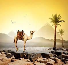 Bilder Ägypten Wüste Altweltkamele Steine Palmengewächse Cairo Natur Tiere