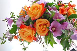 Hintergrundbilder Rose Malven Großansicht Blumen