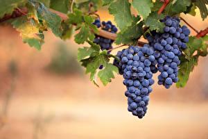 Fotos Obst Weintraube Blattwerk Lebensmittel