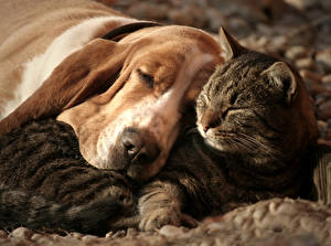 Image Dogs Cats Basset Hound Sleep Two animal