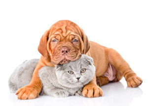 Wallpaper Dogs Cats Two Puppy Dogue de Bordeaux White background animal