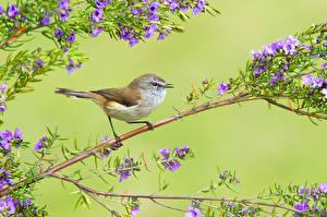 Bilder Vögel Ast Farbigen hintergrund Brown Gerygone Tiere