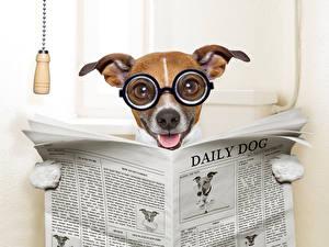 Fotos Hunde Jack Russell Terrier Brille Zeitung Toilette Lustiges Tiere Humor