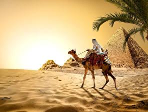 Bilder Ägypten Wüste Altweltkamele Pyramide bauwerk Sand Cairo Natur