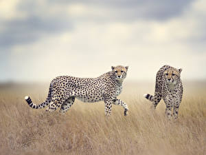 Pictures Big cats Cheetah 2 Animals