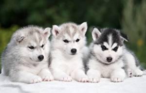 Papel de Parede Desktop Cão Husky siberiano Três 3 Filhote de cachorro Animalia