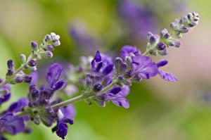 Hintergrundbilder Lavendel Großansicht Violett
