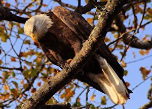 Hintergrundbilder Vögel Habicht Weißkopfseeadler Ast ein Tier