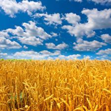 Bilder Felder Himmel Weizen Ähre Wolke