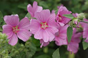 Hintergrundbilder Malven Großansicht Rosa Farbe Blüte