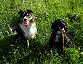 Pictures Dogs Border Collie Two Grass Animals