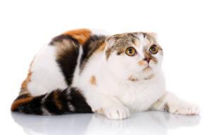 Hintergrundbilder Katzen Schottische Faltohrkatze Starren Weißer hintergrund
