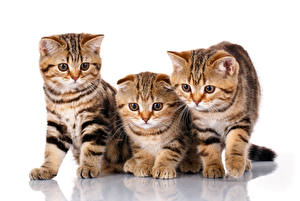 Hintergrundbilder Katze Schottische Faltohrkatze Kätzchen Drei 3 Weißer hintergrund