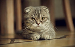 Bilder Katzen Schottische Faltohrkatze Starren
