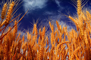 Fotos Himmel Großansicht Weizen Ähre