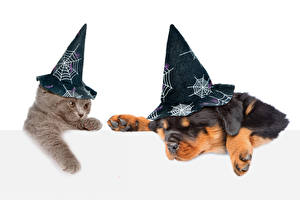 Desktop wallpapers Cats Dogs Halloween Puppies Kitty cat Rottweiler White background Hat Funny Animals