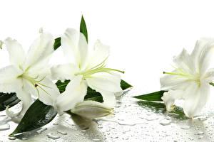 Fotos Lilien Weiß Blumen