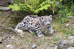 Bilder Schneeleopard Jungtiere ©Tambako The Jaguar Tiere