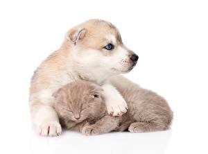 Papel de Parede Desktop Cachorro Gatos Husky siberiano Cachorrinho Gatinhos Dois Fundo branco Siberian Husky  Scottish kitten animalia
