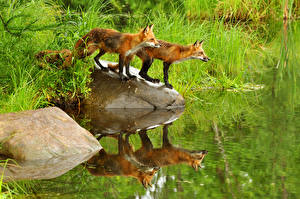 Pictures Foxes Water Stones 2 animal