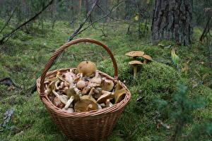 Hintergrundbilder Pilze Weidenkorb Laubmoose Lebensmittel