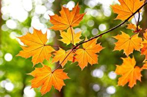 Fotos Herbst Ahorne Ast Blatt Natur