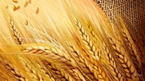 Bilder Großansicht Weizen Ähre