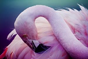 Hintergrundbilder Flamingos Vogel Rosa Farbe Kopf
