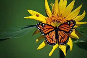 Fotos Schmetterlinge Insekten Monarchfalter